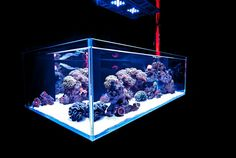 Indoreefclub.com  indonesian reef          perfect 👌👌