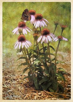 ConeFlower botanical  plant  Flower  nature corn by Creatography