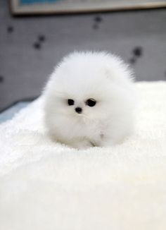 TEACUP PUPPY: ★Teacup puppy for sale★ White teacup #pomeranian Addel :) Cute Little Animals, Cute Funny Animals, Cute Cats, Cute Dogs And Cats, Adorable Baby Animals, Tiny Baby Animals, Super Cute Kittens, Safari Animals, Big Dogs