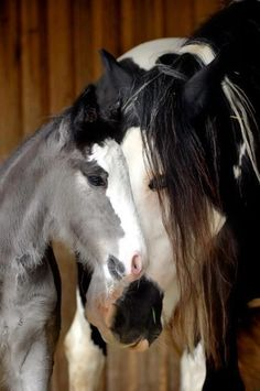 Foal is mix of 4 Quarters= American Paint Horse, Pinto, Gypsy Vanner, Indian Horse All The Pretty Horses, Beautiful Horses, Animals Beautiful, Cute Horses, Horse Love, Horse Pictures, Animal Pictures, Pictures Images, Baby Animals