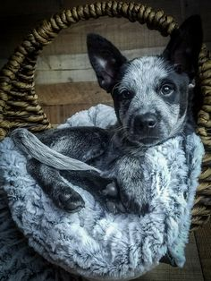 Beautifuly Blue (Heeler) - Tap the pin for the most adorable pawtastic fur baby apparel! You'll love the dog clothes and cat clothes! Cute Puppies, Cute Dogs, Dogs And Puppies, Doggies, Beautiful Dogs, Animals Beautiful, Baby Animals, Cute Animals, Austrailian Cattle Dog