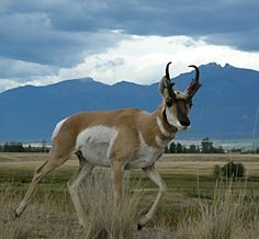 Pronghorns are the fastest land animal in the United States