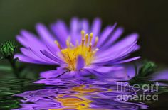 #MAUVE #SOFTNESS & #REFLECTIONS - #Nature   #Prints & G/Cards available at:  http://kaye-menner.artistwebsites.com/featured/mauve-softness-and-reflections-kaye-menner.html  -