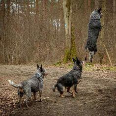 Aussie Cattle Dog, Austrailian Cattle Dog, Aussie Dogs, Australian Shepherd Dogs, Cattle Dogs, Herding Dogs, Dog Life, I Love Dogs, Blue Heelers
