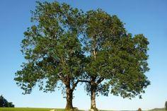 Starý keltský stromovový horoskop přisuzuje lidem podle data narození charakterové vlastnosti a osud stromu. Teen, Plants, Horoscope, Plant, Planets