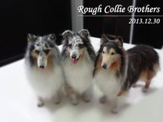 Needle Felted Super Realistic Rough Collie Bros.
