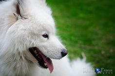 Gorgeous white samoyd dog playing in the park.