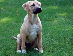 What happens when a purebred German shepherd dog falls in love with a purebred Labrador retriever? A batch of German sheprador puppies are born! Also known as the labrashepherd, German retriever or Labrador shepherd, the German Shepherd Lab Mix is not a breed, but is actually considered to be a hybrid. A hybrid consists of …