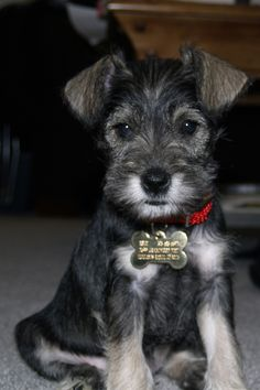 Holly - Miniature #Schnauzer