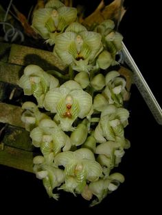 Andy's Orchids - Species Specialist - Clowesia (Catasetum) - warczewitzii