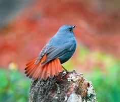 Plumbeous Redstart (Rhyacornis fuliginosa) male