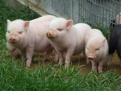 Such Cute Piglets!  From left-to-right: They go up in size!