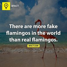 """A flock of flamingoes is called a flamboyance! How fab is that! """