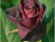 Rosales de Flor Grande Colección Meilland ®