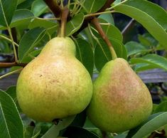 Learn how to grow a pear tree from seeds! Harvest seeds from a pear, and grow indoors until tree is strong enough to be planted outdoors. Growing Fruit Trees, Growing Tree, Growing Plants, Organic Gardening, Gardening Tips, Container Gardening, Organic Fruit Trees, Fruit Tree Nursery, Gardens