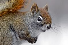 Photogenic This American Red Squirrel
