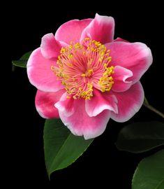 Camellia japonica 'Tama Glitters' (U.S., 1993)
