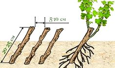 Размножение смородины: черенками, отводками, делением куста, как