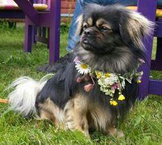 Lovely midsummerdog