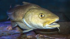 North Sea cod stocks fall to 'critical' level says Ices report - BBC News Nature Climate Change, Reasons To Be Vegan, Ocean Food, University Of Southampton, Fish Stock, Types Of Fish, Emergency Response, North Sea, Environmental Issues