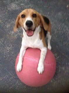 cute beagle and a giant pinky ball