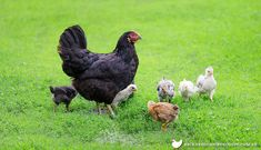 Australorp chickens are one of the most popular breeds in Australia - find out more about their temperament, egg laying abilities and hardiness here!