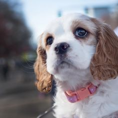 Lily (3 months) Spaniel Portland, OR She's watching for her runner to cross the 8k Shamrock finish line. #happytails #pnwdogs #wagtomyheart #cockerspaniel #springerspaniel #shamrockrun  Portland Pet Portraits Photographed by Danyel Rogers Photography