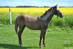 Yearling, silver smokey black coloured, Rocky Mountain Horse filly.
