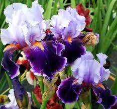 Imagini pentru flori de iris poze