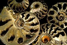 Pyritized Quenstedtoceras ammonites