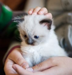 Ragdoll Kitten. Possibly The Cutest Thing I've Ever Seen. Ever.