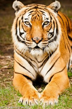 """Tiger (Panthera tigris). They are categorized under """"endangered"""" by IUCN.   Tigers are the largest of the cat species, reaching a total body length of up to 3.3 m (11 ft) and weighing up to 306 kg (670 lb)"""