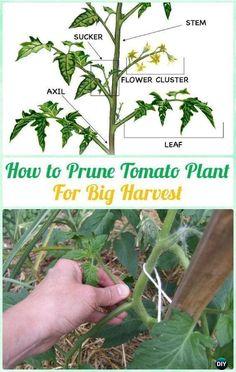 How To Prune Tomato Plants