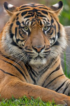 Tiger resting on grass