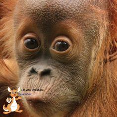 Vor zwei Jahre wurde Dalai geboren. Zur Feier des Tages gibt es Morgen eine besondere Leckerei für den kleinen Orang-Utan Jungen Dalai. Er ist das dritte gemeinsame Jungtier der Orang-Utans Daisy Toni und der 32.Sumatra-Orang-Utan, der im Zoo Dresden geboren wurde.   #ZooDresden #Zoo #OrangUtan #Tierparkinfo