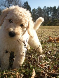 Labradoodle puppies coming soon to my house! can't wait cause i can see them, but don't have to take care of them!