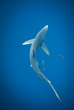 Blue Shark with Pilot fish -