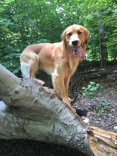 Rollo thinks he can climb trees