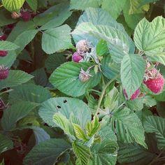 ...maliny zo záhrady...raspberries from our garden...#raspberry #raspberies #berries #berry #maliny #malina #farma #farm #farmarskytrh #urbangarden #urbangardening #garden #gardening #zahrada #záhrada  #vidiek #vidieckystyl #vidiecky #countrystyle #countryside #village #growing #grow