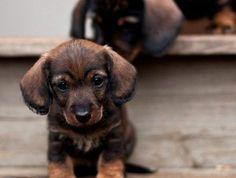 5-Teckel-commnet-adopter-un-petit-chien-chez-vous-voici-le-plus-beau-chien-Teckel