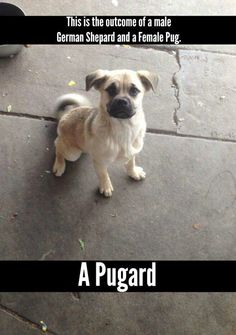 This dog would be perfect for us, I love pugs and my husband loves shepherds!