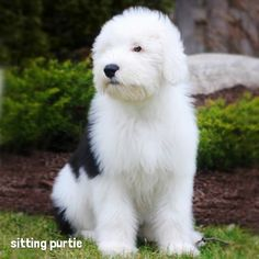 sitting purtie - Bernadette the Old English Sheepdog