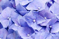 Hydrangea - Flickr - Photo Sharing!