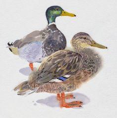 Mary Woodin - England Illustrator - Mallard ducks, watercolor - marywoodin.blogspot.co.uk