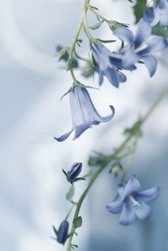 Bluebells in spring - @~ Mlle