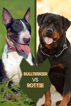 Today we are going to take a look into what really separates the amazing Bull Terrier and the Rottweiler. So, lets jump straight in and first we will compare the history of these wonderful breeds. Best Guard Dog Breeds, Best Guard Dogs, Best Dogs, Large Dog Breeds, Large Dogs, Mastiff Dog Breeds, Herding Dogs, Rottweiler Dog, Guide Dog