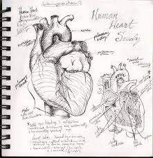 Image result for  humanhearts to draw