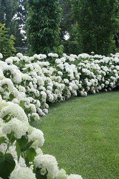 Hydrangea hedge.