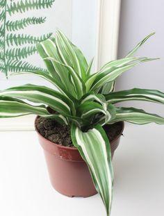 Маленький росток будущей пальмы Драцены Фрагранс с зелеными полосатыми листьями