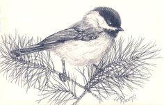 pencil sketch of a Carolina Chickadee sitting on a pine bough (by ...